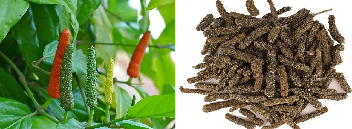 Indian Long Pepper Pippali - Piper longum 5:1 Extract